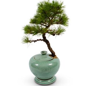 도자기소나무분재7526