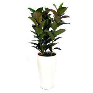 고무나무3